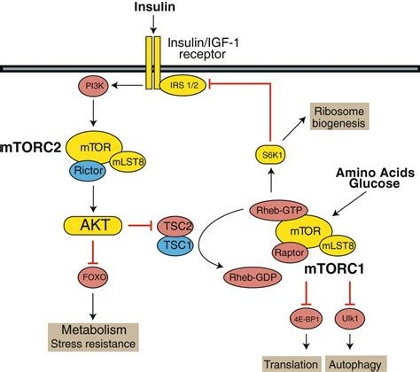 Diminished mTOR signaling: a common mode of action for