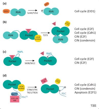 Deciphering the retinoblastoma protein phosphorylation