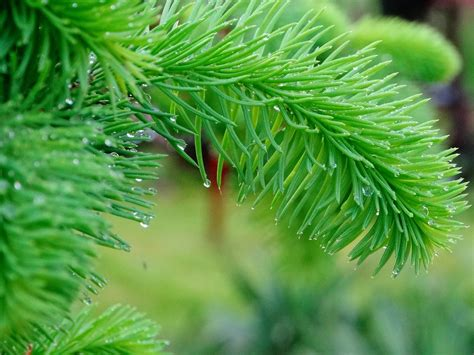 Free picture: nature, tree, winter, pine, branch