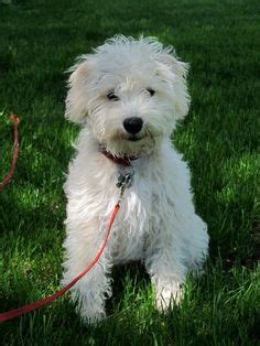 snoodle | Schnoodles, Schnoodles Puppies for sale