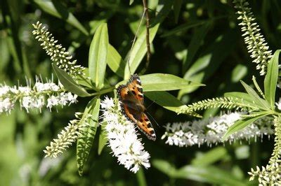 The Varieties of the Dwarf Butterfly Bush (with Pictures