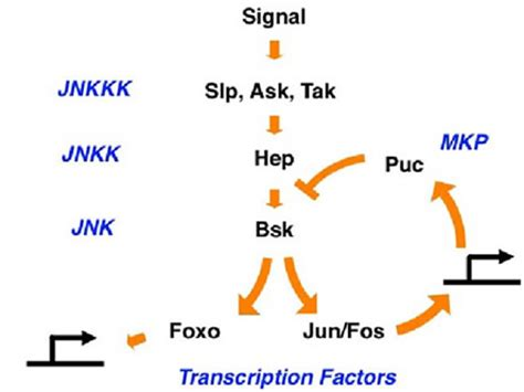 JNK, Oxidative Stress and Aging - Projects - Bohmann Lab