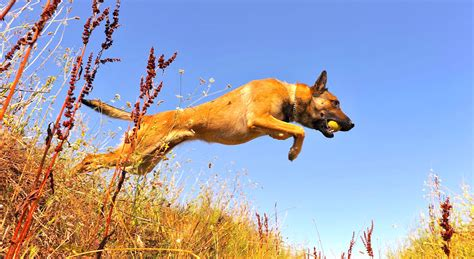 5 Things to Know About Belgian Malinois