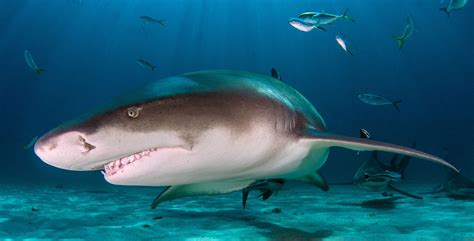 Shark Week 2017: Everything You Need to Know   Diviac Magazine