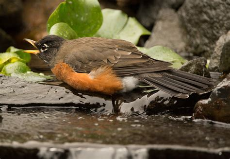 A Day of Robins | Wings Over Skagit