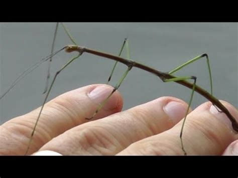 Walking stick insect - Real Japan Monsters - YouTube