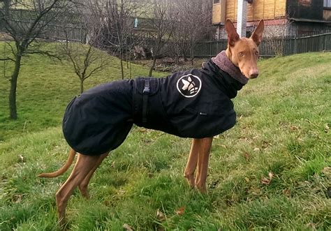 Pharaoh hound - dogs and puppies | Pharaoh hound kennel El