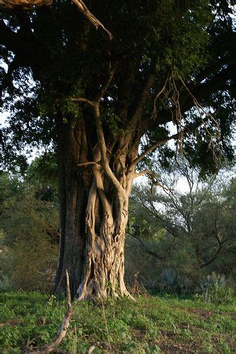Ebony Tree: Pictures, Images, Photos, Facts On Ebony Trees