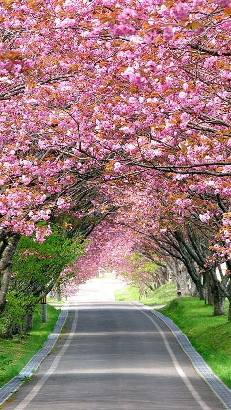 Wallpaper Cherry Blossom Trees, Spring, HD, Nature, #4959