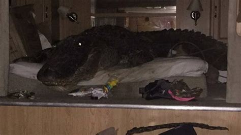 Massive Gator Takes Shelter On a Bed During Hurricane