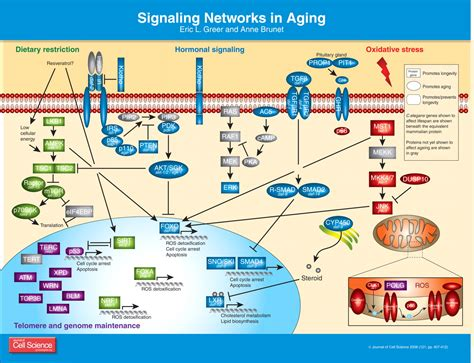 Signaling networks in aging | Journal of Cell Science