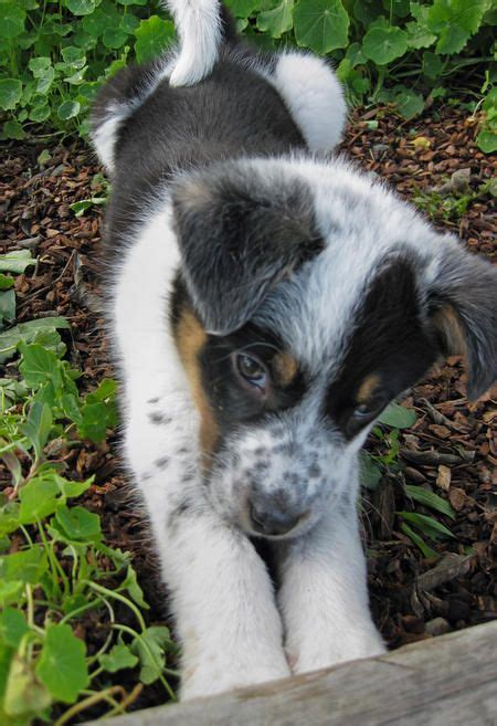 Had a Border Collie/Aussie Shepherd mix who looked similar